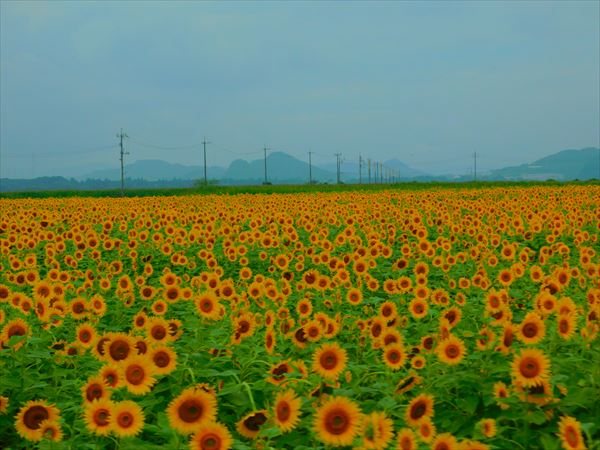 200730笠岡ベイファームヒマワリ畑遠景