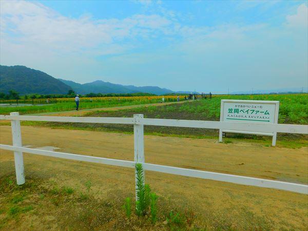 200730笠岡ベイファームヒマワリ畑遠景、観光客